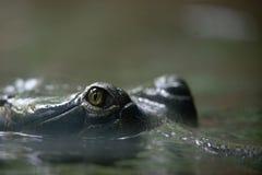 öga av krokodilen i den Prague ZOO Arkivfoton