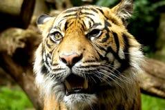 Öga av tigern arkivfoto