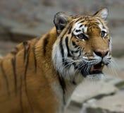 Öga av tigern Fotografering för Bildbyråer