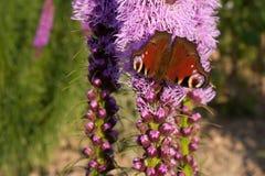 Öga för bakgrundsfjärilspåfågel på den blommande Liatrisspicataen Arkivfoton