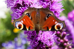 Öga för bakgrundsfjärilspåfågel på purpurfärgad Liatrisspicata för blomma Fotografering för Bildbyråer