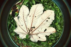 Öga för fisk för blad för Yagrumo träd stort på den tropiska Forest Puerto RIco Royaltyfri Fotografi