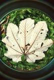 Öga för fisk för blad för Yagrumo träd stort på den tropiska Forest Puerto RIco Royaltyfria Bilder