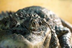 Öga för krokodil` s royaltyfria foton