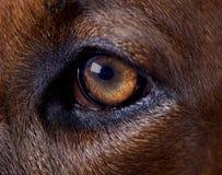 Öga för Rhodesian hundvänstersida Royaltyfria Bilder