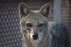 Öga till ögonkontakten med räven Arkivbild