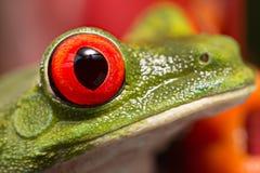Ögat av en röd synad trädgroda royaltyfri bild