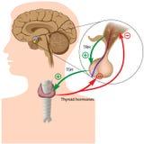Ögla för negativ återkoppling för hormon Arkivbild