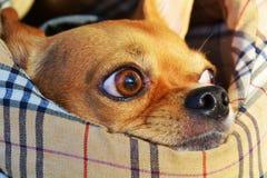 Ögon av chihuahuaen, närbild arkivbilder