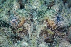 Ögon av Crocodilefish Arkivbilder