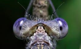 Ögon av damselflyen arkivfoton