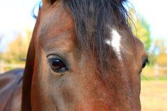 Ögon av den arabiska fjärdhästen Arkivfoto