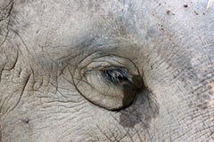 Ögon av den asiatiska elefanten. arkivbilder