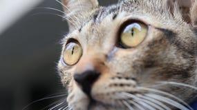 Ögon av den hemmastadda katten ögonen är mycket mousserande royaltyfria bilder