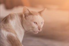 Ögon av den siamese katten Arkivfoton
