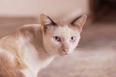 Ögon av den siamese katten Royaltyfri Fotografi