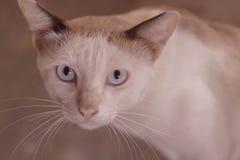 Ögon av den siamese katten royaltyfri foto