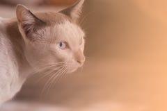 Ögon av den siamese katten royaltyfri bild