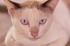 Ögon av den siamese katten arkivbilder