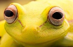 Ögon av den tropiska trädgrodan royaltyfri bild