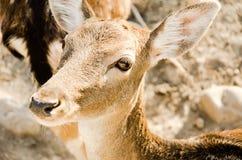 Ögon av en antilop fotografering för bildbyråer