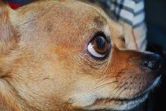 Ögon av en Chihuahua, närbild royaltyfria foton