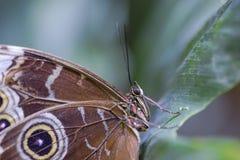 Ögon av en fjäril arkivfoton