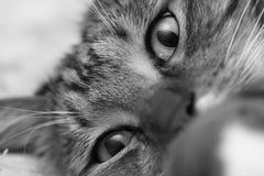 Ögon av en grå färg gjorde randig närbild för inhemsk katt Royaltyfria Foton