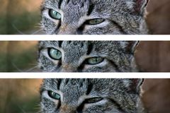 Ögon av en grå katt royaltyfria foton