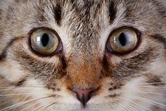 Ögon av en grå randig kattunge. Arkivfoton
