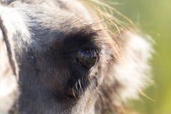 Ögon av en kamel royaltyfri bild