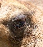 Ögon av en kamel Arkivbild