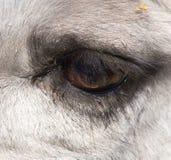 Ögon av en kamel Royaltyfri Fotografi