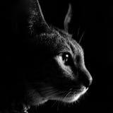 Ögon av en katt Royaltyfri Bild