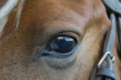 Ögon av en peruansk häst som tätt tas upp arkivfoto