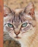 Ögon av en pussykatt royaltyfri foto