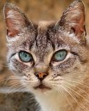 Ögon av en pussykatt arkivbild