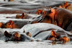 Ögon av flodhästen Royaltyfri Foto