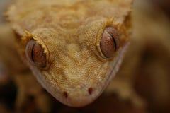Ögon av geckon Royaltyfri Fotografi