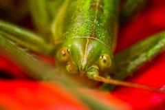 Ögon av gräshoppan royaltyfria bilder