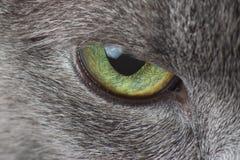Ögon av grått kattmakrofotografi royaltyfria bilder