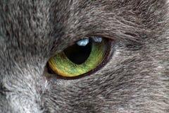 Ögon av grått kattmakrofotografi royaltyfri foto