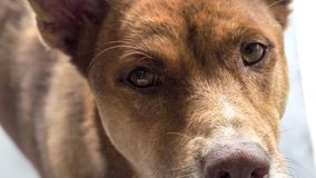 Ögon av hundfokusen på pälsbron är omkring suddighet arkivbilder