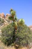 Ögon av Joshua Tree royaltyfria foton