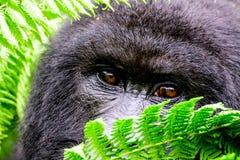 Ögon av kika för berggorilla royaltyfri fotografi