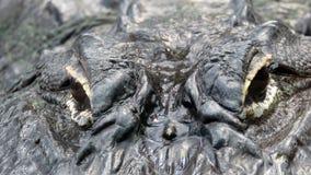 Ögon av krokodilen i zoo de Beauval arkivbild