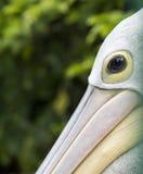 Ögon av pelikanfågeln royaltyfri bild