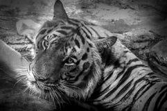Ögon av tigern royaltyfri foto