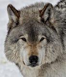 Ögon av vargen arkivbild