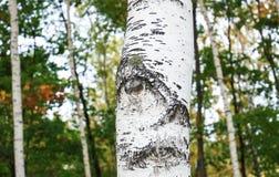 Ögon av vita björkar i hösten arkivfoton
